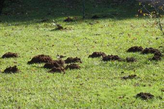 Mole mounds in yard