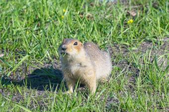 Gopher, Vole, and Mole Control in the Garden