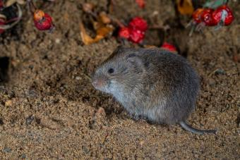 Meadow vole with red berries