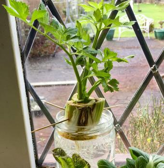 Growing celery in water