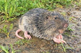 Wet gopher in mud and grass