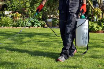 Spraying lawn with castor oil solution