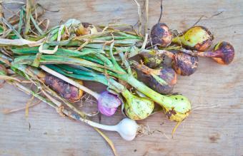 Young onions and garlic Garlic Bulbs