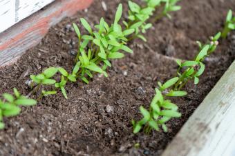 cilantro (coriander) seedlings