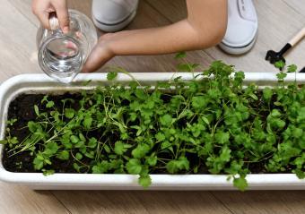 Watering cilantro