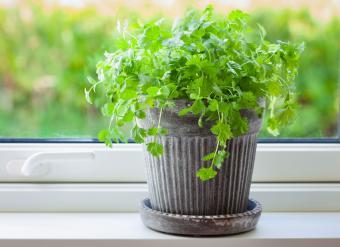 Fresh cilantro herb in flowerpot on window sill