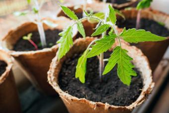 tomato plant in peat pot