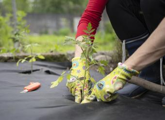 Plastic weed barrier planting tomatoes