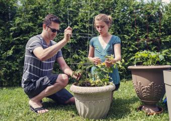 planting tomato plant in a pot