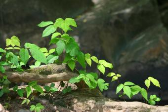 Poison Ivy Plant Guide