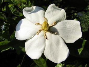 Gardenia thunbergia blossom