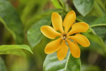 A variety of Golden Magic gardenia