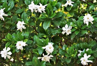 Gardenia shrubbery