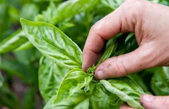 pinching top of basil plant