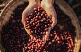 Hands holding cherries seeds