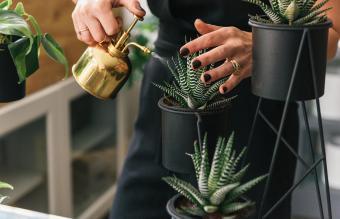 watering succulent plants