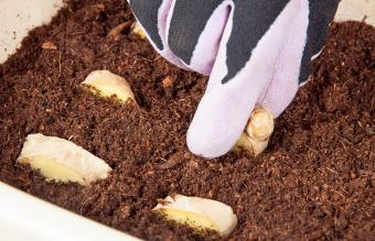 planting ginger in a pot