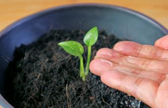 watering the sprouting seedling