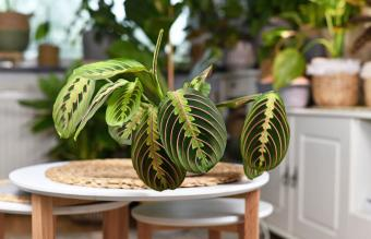 Complete Prayer Plant Care and Growing Guide