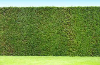 hedge in an English garden
