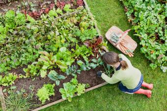 woman gardener weeding an organic vegetable garden