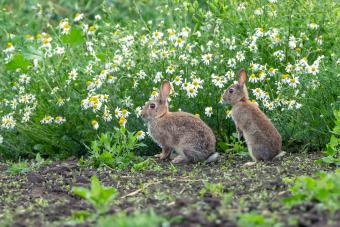 Two wild, native young rabbits on the edge of farmland