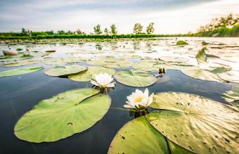 Blossoming white water lilly
