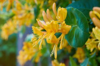 Blooming honeysuckle Bush