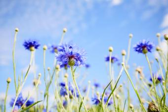 Low angle view of a field of cornflowers against blue sky in summer