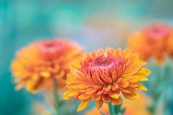 Orange Flowering Chrysanthemum