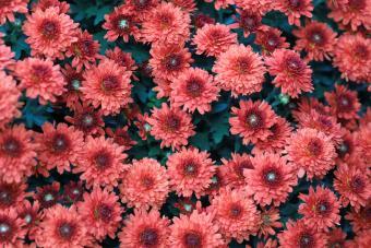 Mum Flowers in autumn bloom