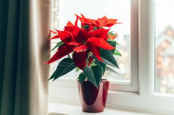 December Birth Flowers: Striking Narcissus, Poinsettia & Holly