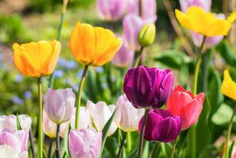 bulbs in flower