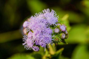 Ageratum: A Guide to Growing and Caring for the Floss Flower