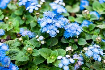 powder blue ageratum