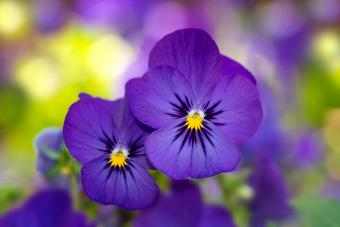 purple violet flowers.