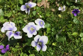 Spring Violets in the Grass