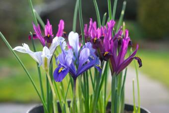 Iris Reticulata, a small bulbous Iris flowering in February
