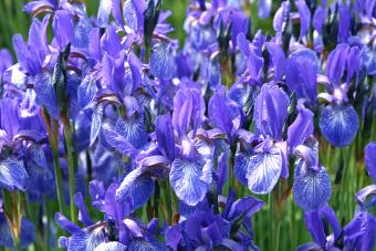 Beautiful Iris Flowers