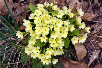 Yellow Primroses (Primula vulgaris) flowering