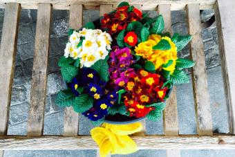 Colorful Bouquet of Primroses