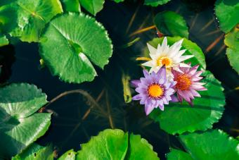 Three different colored open water lily flowers in a pond