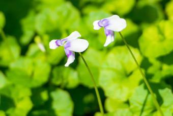 Australian Native Violets