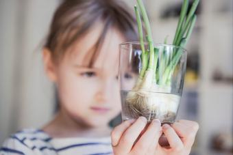 green onions regrowing shoots from leftover roots