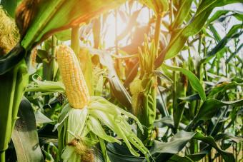 How to Grow Corn: Stress-Free Steps From Planting to Harvest