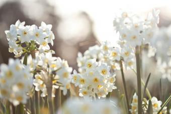 White jonquil flowers