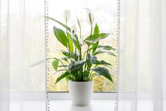 peace lilies growing in pot