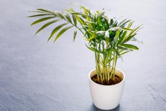 Parlor Palm or Chamaedorea elegans