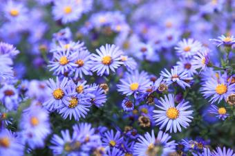 September Birth Flowers: Vibrant Aster and Morning Glory
