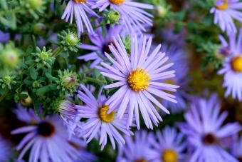 Hardy Blue Aster Flowers